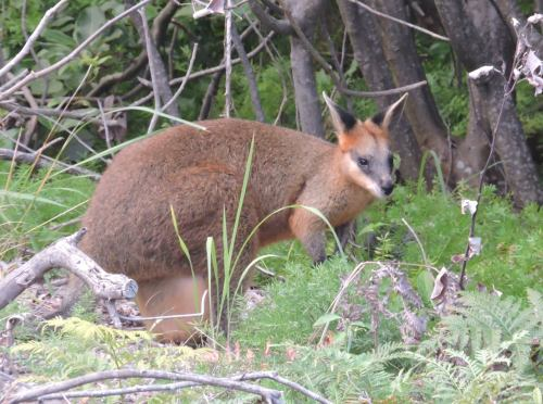 brush-tailed rock wallaby kb